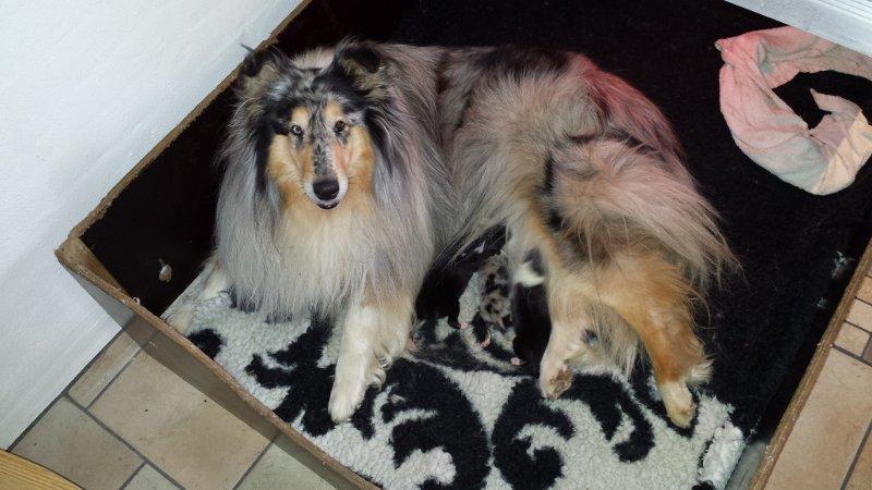 Daisy med hendes nyfødte hvalpe. Daisy with her newborn pups.